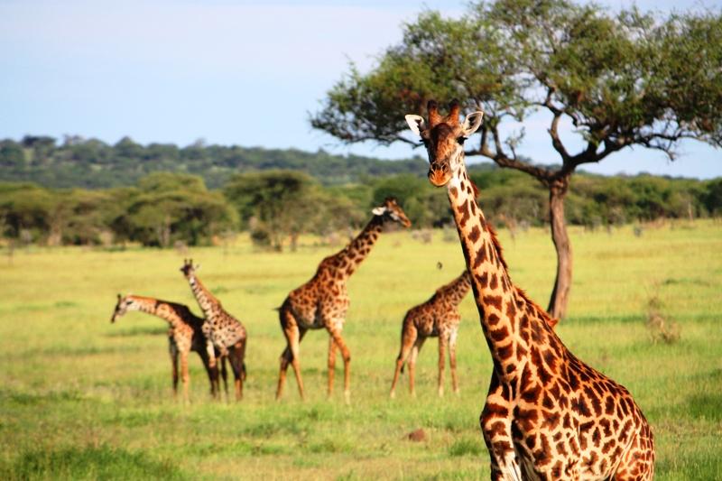091209 Serengeti Giraffe