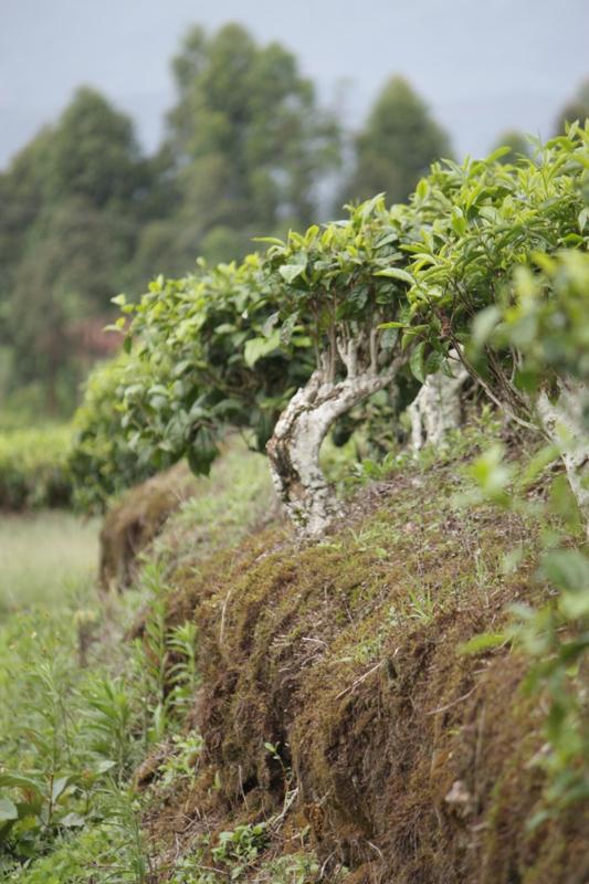 091222 Tea Plantation Tanzania