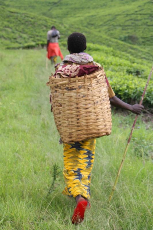 091222 Tea Plantation plucker