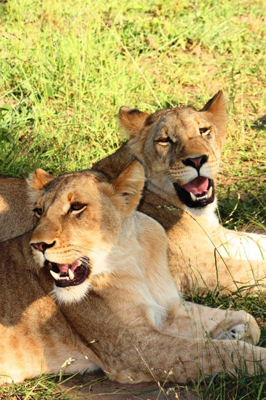 100101 Lion Walk 4