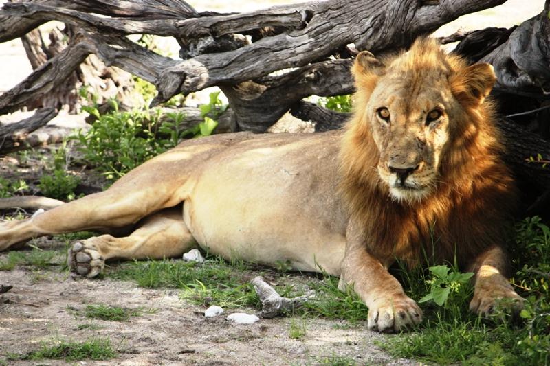 100114 Etosha Lion