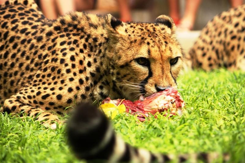 100116 Cheetah feeding