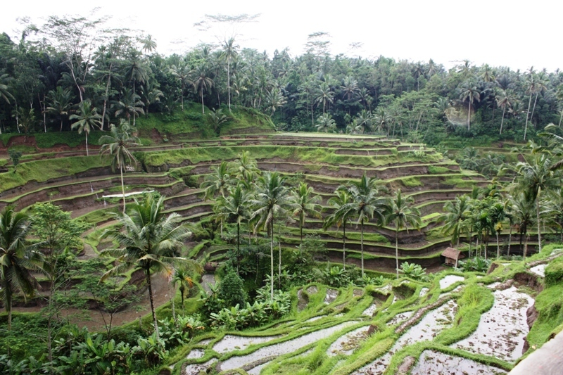 Bali - Terraced Rice Fields 1