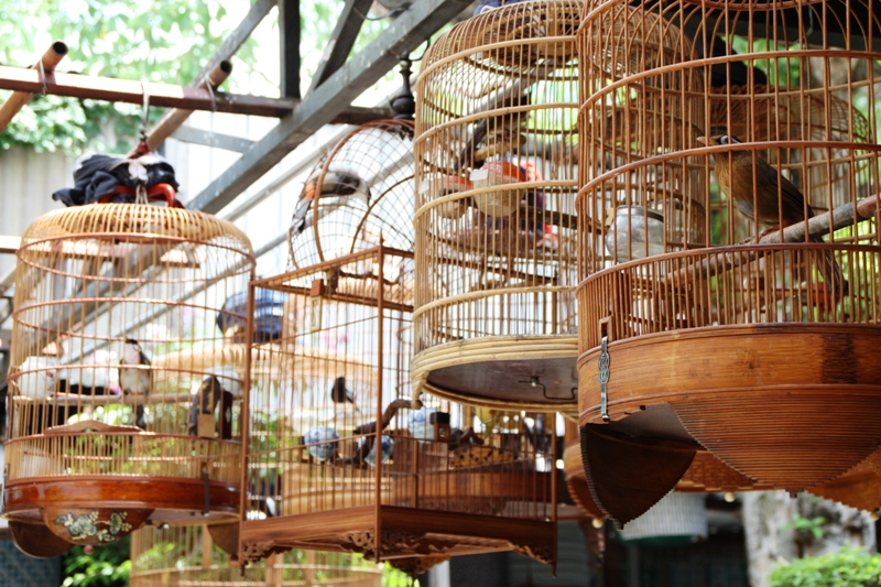 Songbirds of Vietnam - Bird cages in cafe