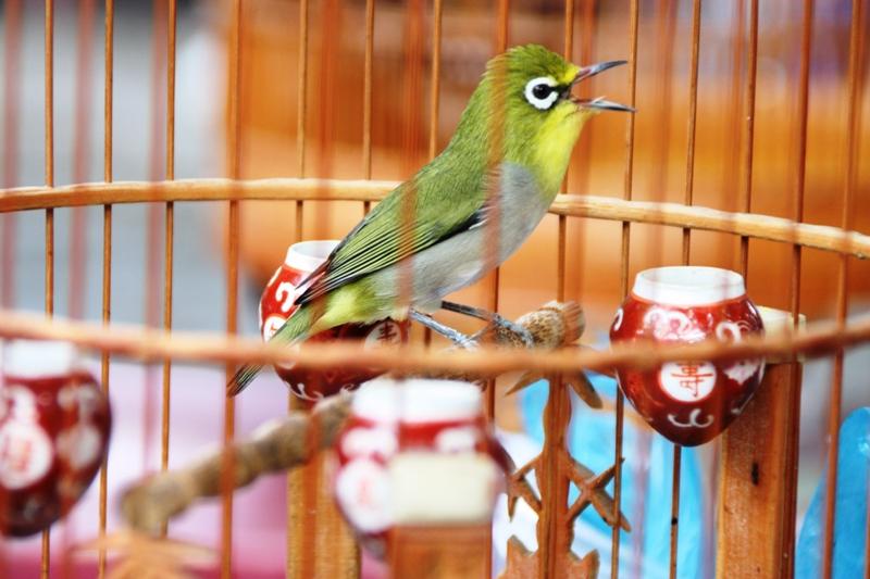 Songbirds of Vietnam - Songbird