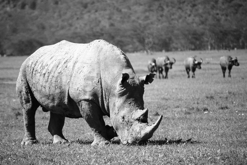 2009 1207 Nakuru Rhino