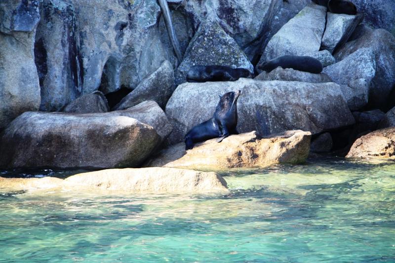 Abel Tasman Fur Seal