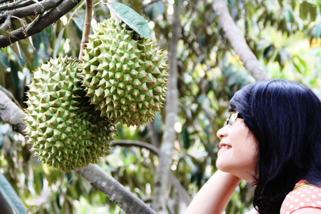 Looking at durian fruit in a Vietnamese orchard