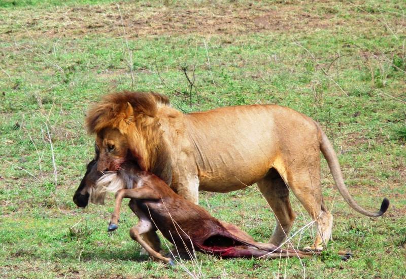 091209 Serengeti Lion kill 3