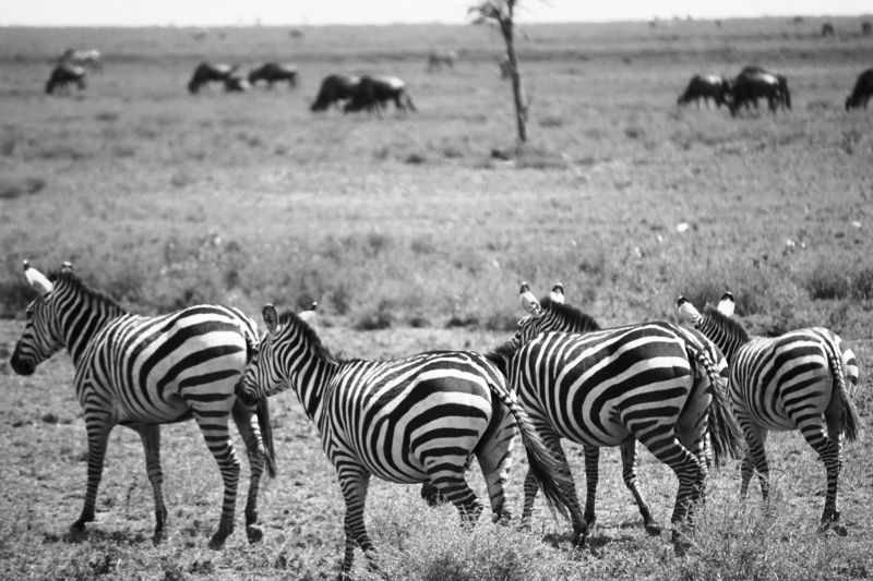 091210 Serengeti Zebras
