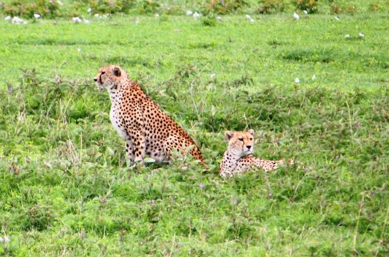 091211 Ngogogoro Crater Cheetahs