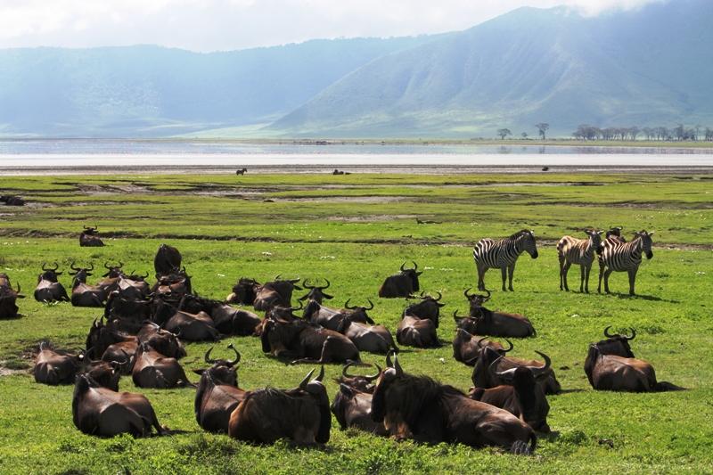 091211 Ngogogoro Crater Wildebeest