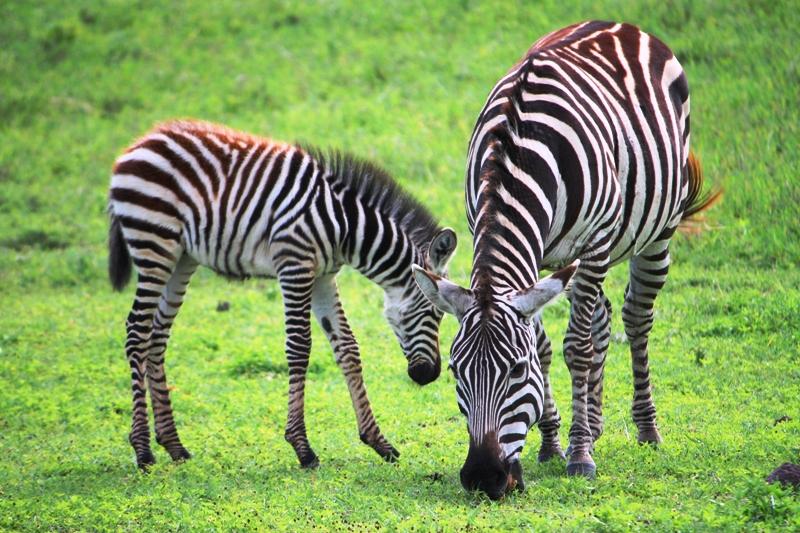 091211 Ngogogoro Crater Zebras 2a