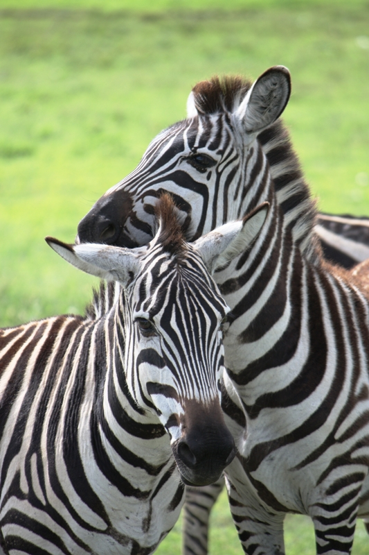 091211 Ngogogoro Crater Zebras a