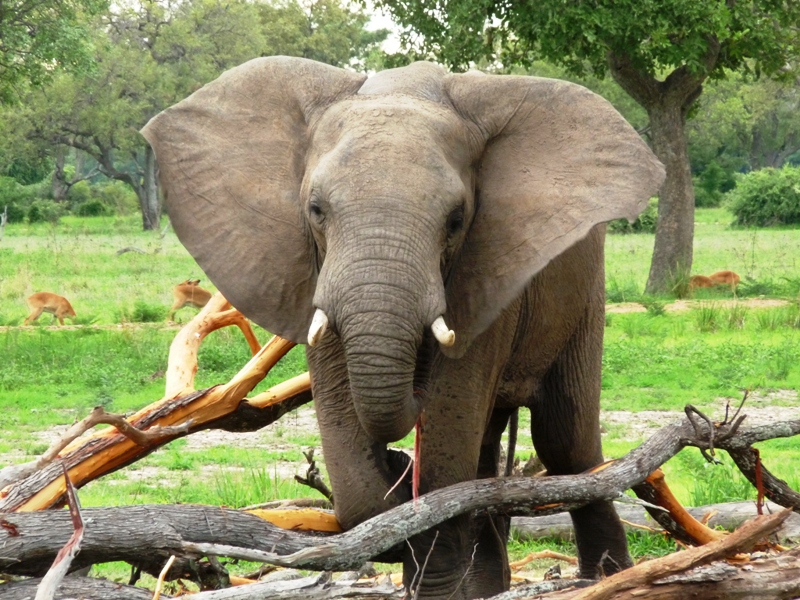 091227 Luangwa Elephant 2
