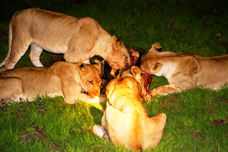 091227 Luangwa Lion kill 2