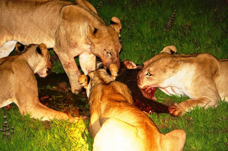 091227 Luangwa Lion kill