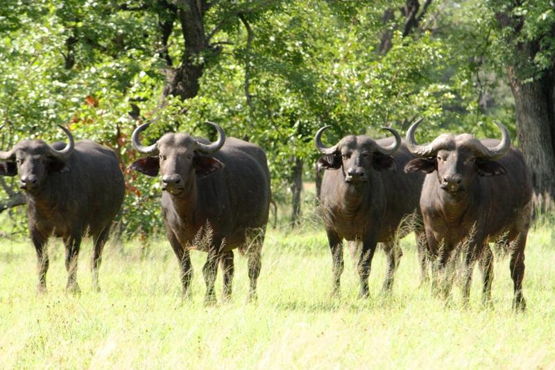100101 Mosi Oa Tunya Buffaloes 2