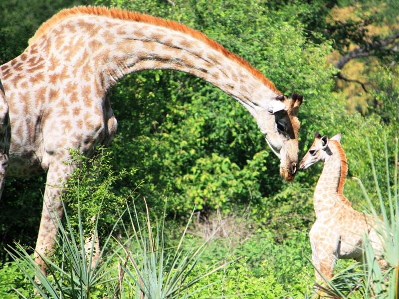 100101 Mosi Oa Tunya Giraffe baby 4