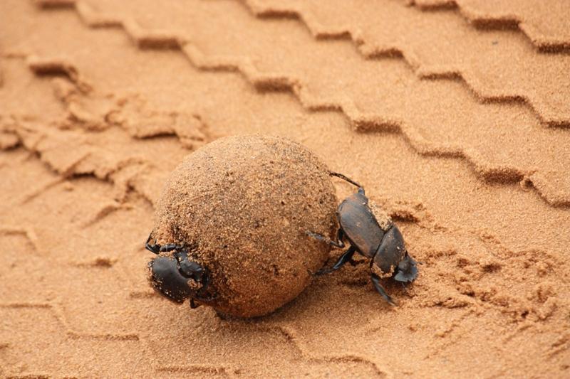100107 Chobe Dung Beetle