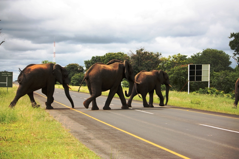 100107 Chobe Elephant Crossing