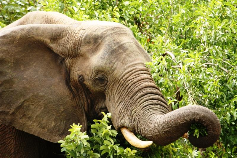 100107 Chobe Elephant