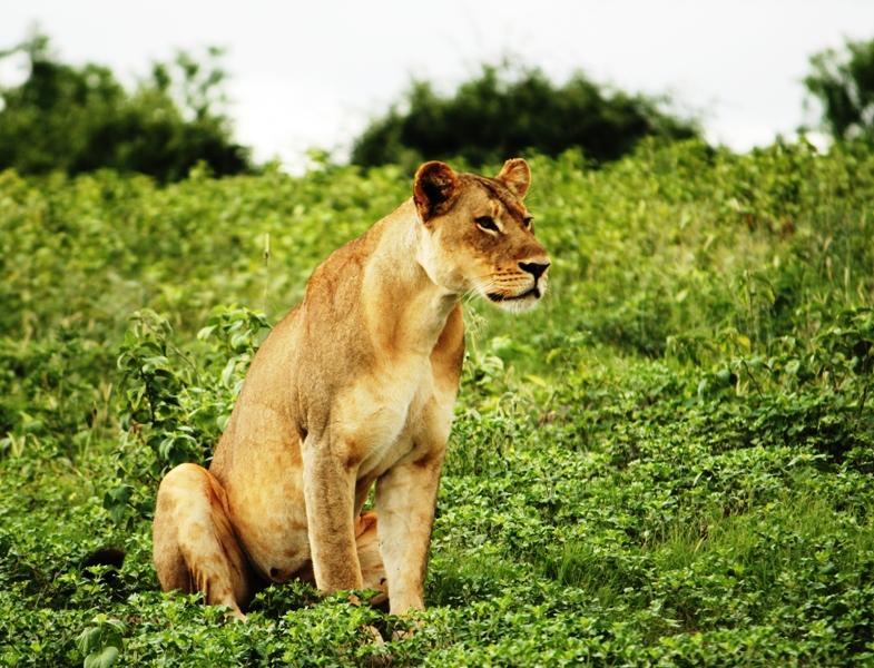 100107 Chobe Lioness