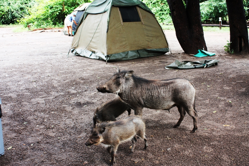 100107 Chobe Warthogs in Camp