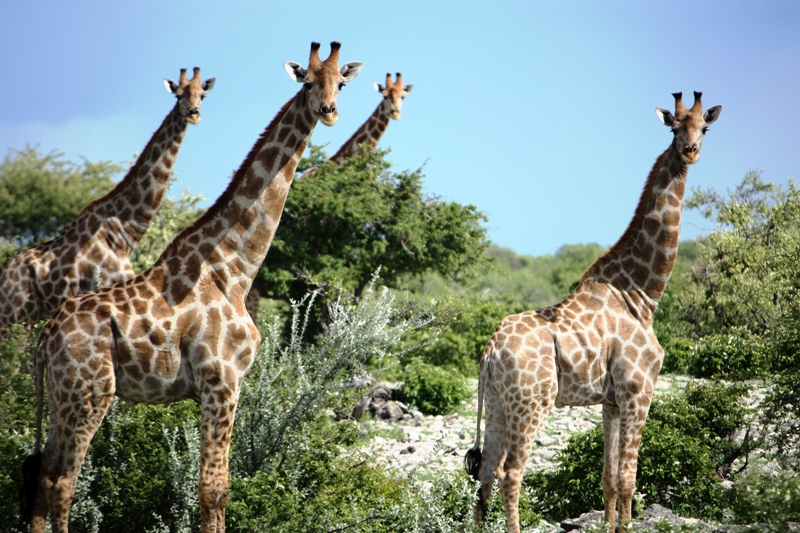 100114 Etosha Giraffes 2