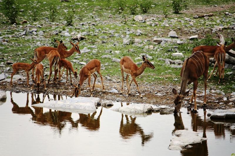 100114 Etosha Kudu and Springbok