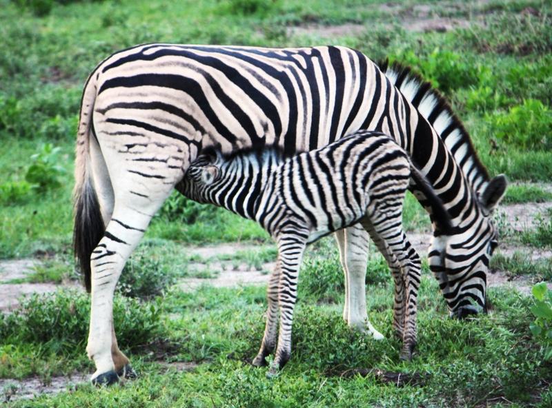 100114 Etosha Zebra 2