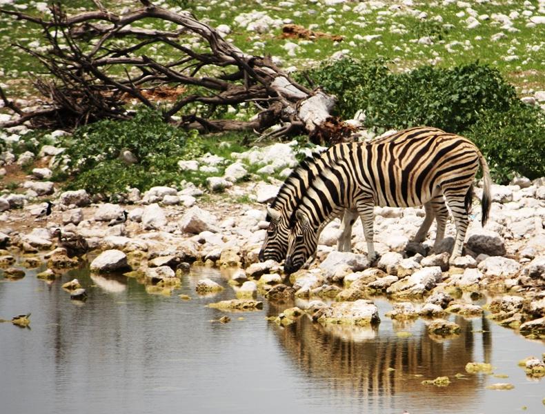 100115 Etosha Zebras
