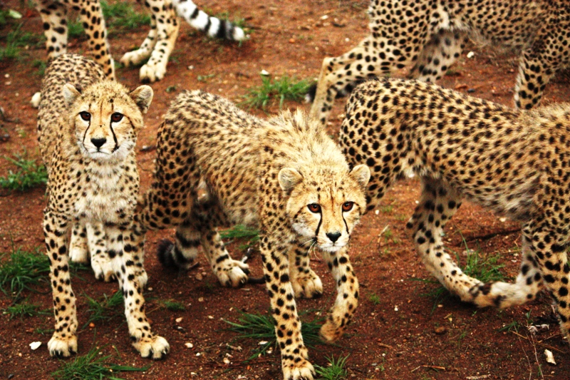 100116 Cheetah Juveniles