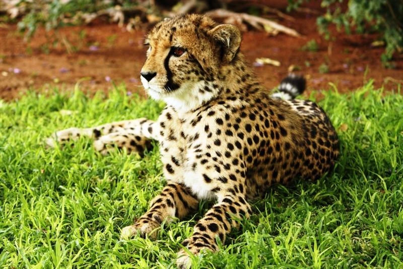 100116 Cheetah in repose