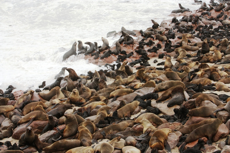 100121 Seal Colony 4