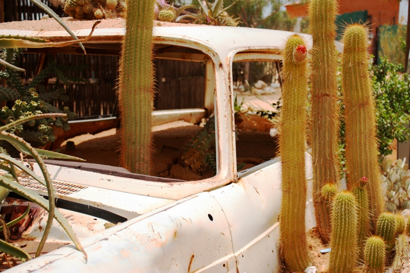 100124 Solitaire Cacti