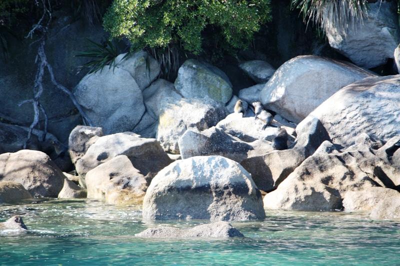Abel Tasman Fur Seal 2