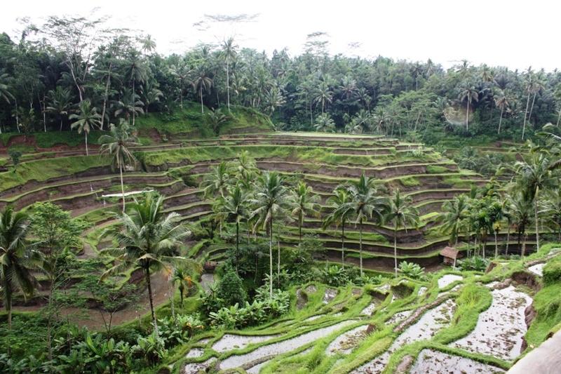 Bali - Terraced Rice Fields 1