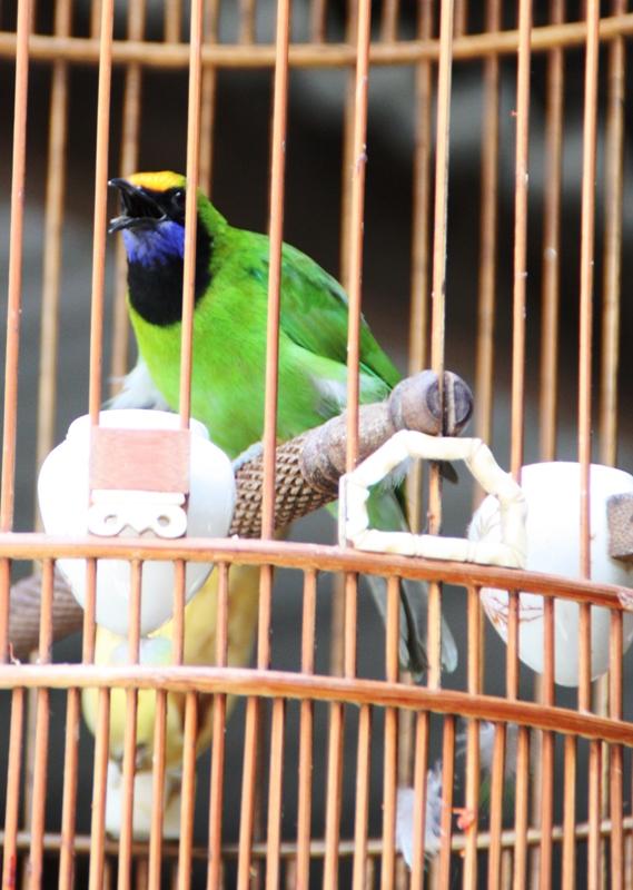 Songbirds of Vietnam - Bird close up