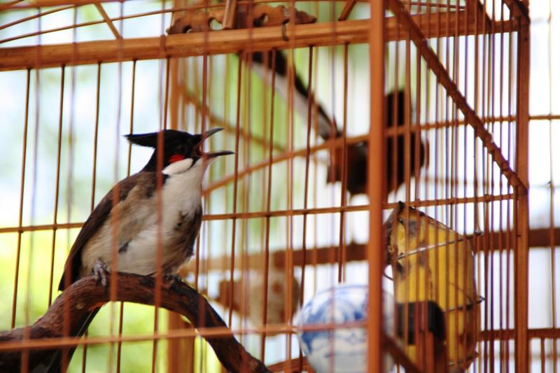 Songbirds of Vietnam - Close up of songbirds 1