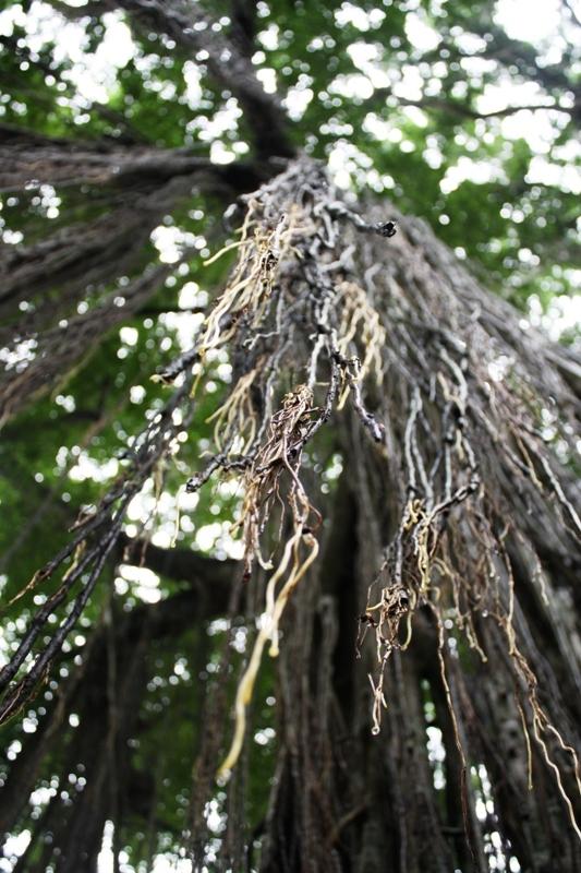 Ubud - Monkey Forest - Vines