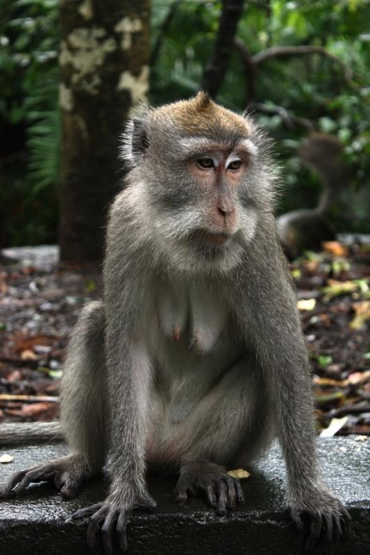 Ubud - Monkey Forest