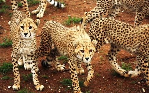 Wild - 2010 0116 Cheetah Juveniles